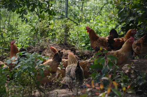 他养三万土鸡山间奔跑 摸农业套路管理农民的生产销售 服务百家农场
