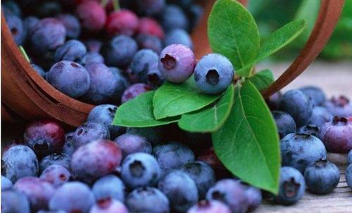 6000人来他的农场采摘蓝莓 12个品种年产量1.6万斤 众筹62万元