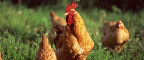 他承包两千亩地放养20万只土鸡 1万用户线上养鸡线下收蛋 已售2百万枚