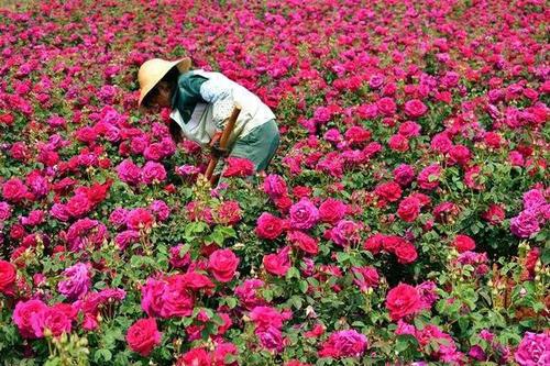 云南:一朵花开出的世界第一